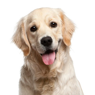golden-retriever.jpg