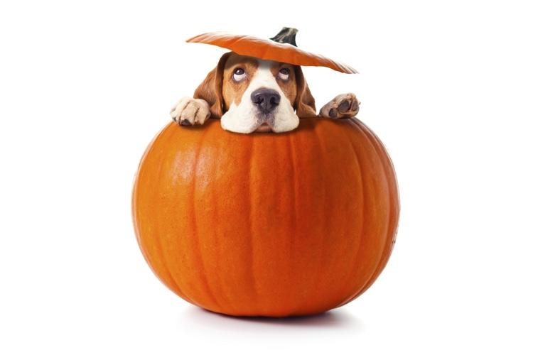 Healthy Benefits of Pumpkin for Pets.jpg