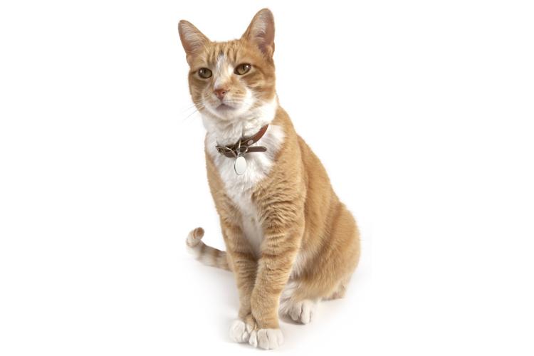 Hyperthyroidism In Cats Symptoms Treatment