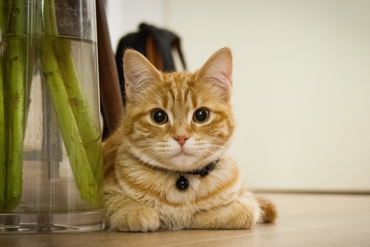 Treatment options for feline hyperthyroidism