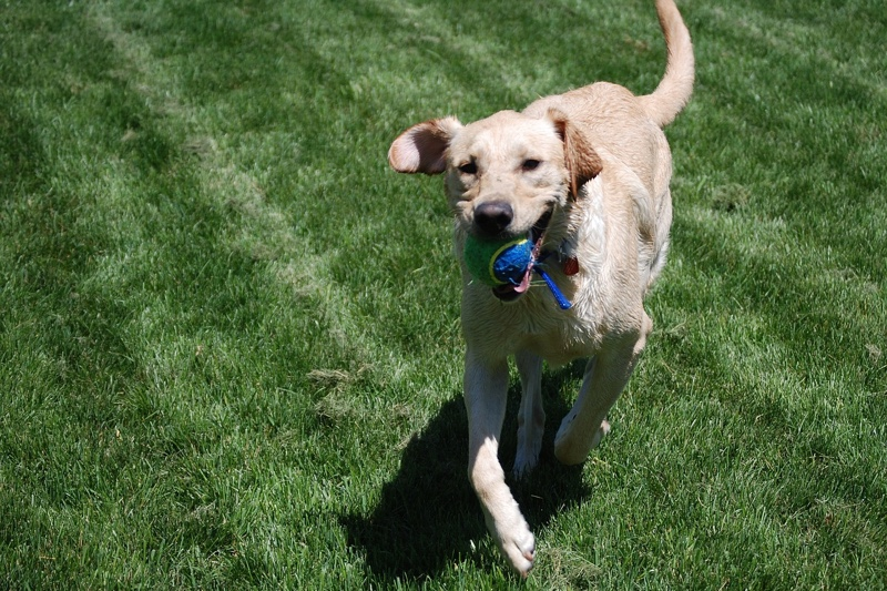games to play with a Labrador Retriever