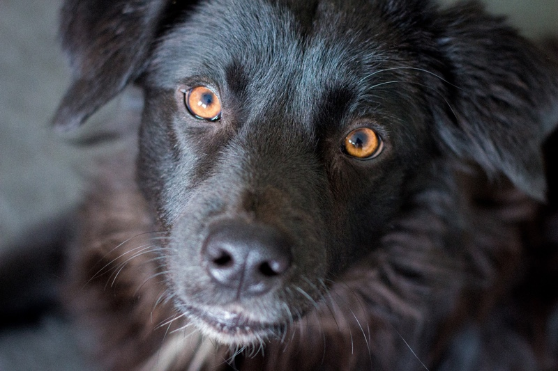 Treating bacterial conjunctivitis in dogs