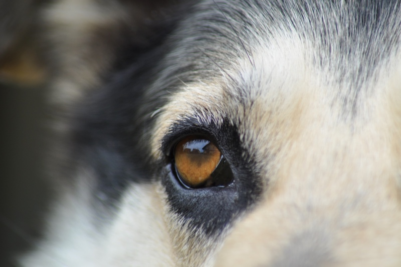 Treating viral conjunctivitis in dogs