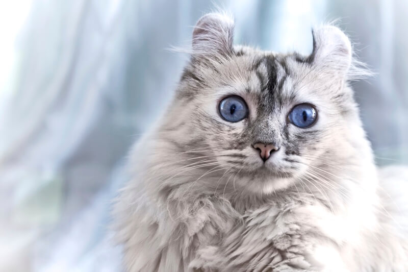 American Curl cat with blue eyes