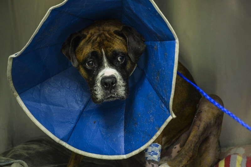 Boxer dog in cone with bandaged leg