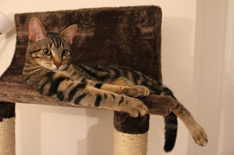 Classic Tabby cat laying on a scratching post