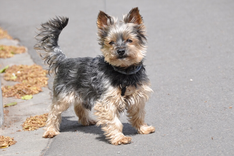 Common Health Issues for Yorkies