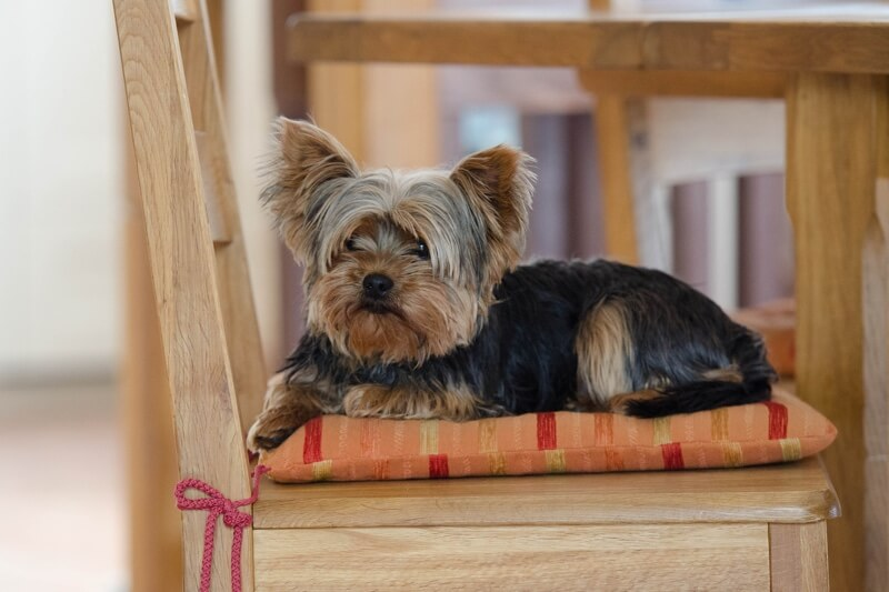 How to groom a Yorkie