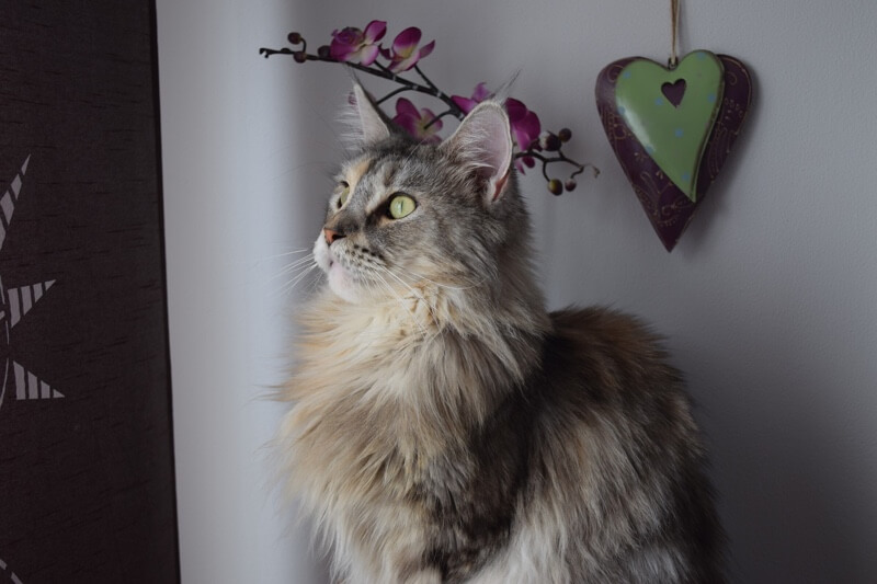 Maine Coon cat looking out the window