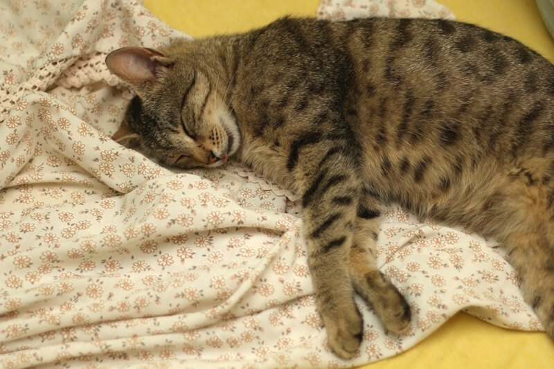 Spotted Tabby cat sleeping on a blanket