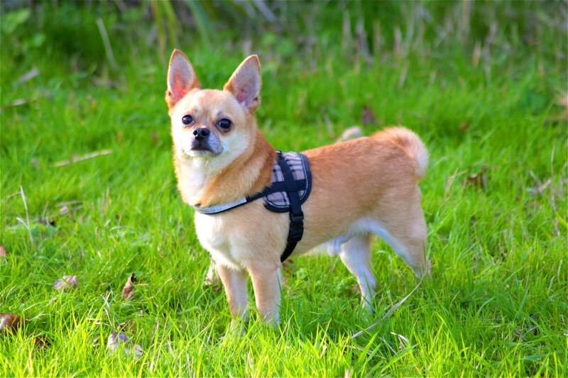 basic facts about Chihuahuas