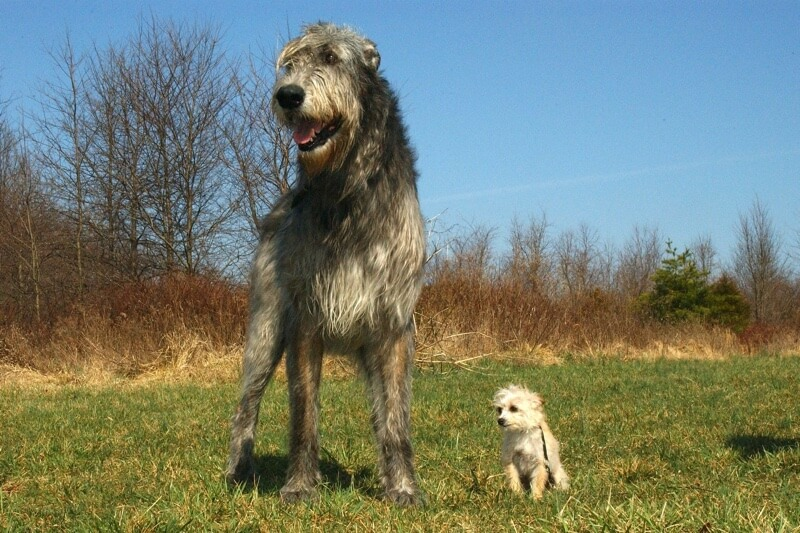 bone cancer in big dogs | Irish Wolfhound next to Chihuahua Poodle mix