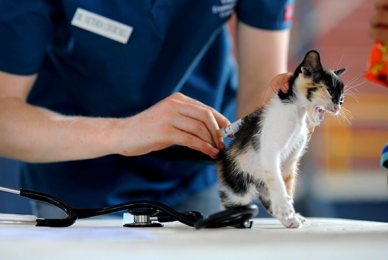 Calico kitten getting vaccinated