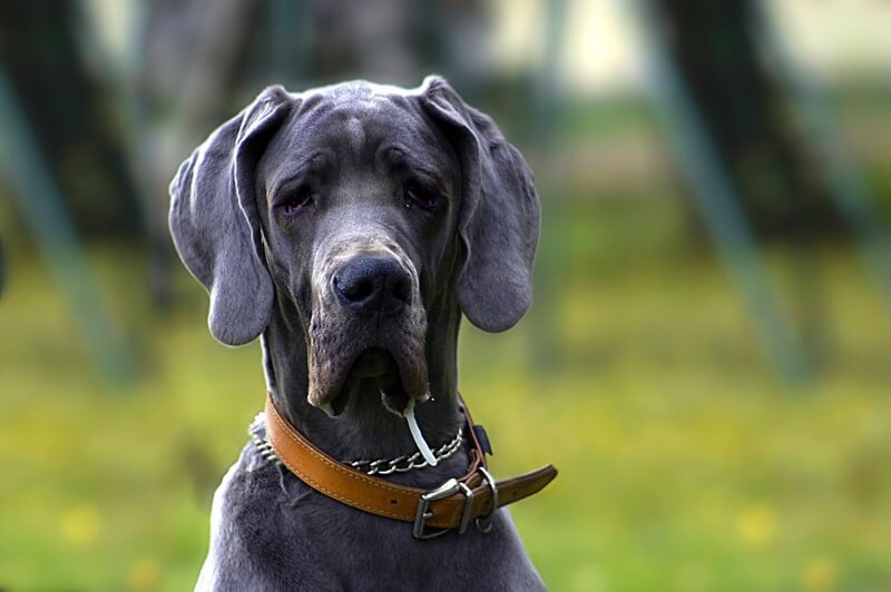 diagnosing bone cancer in dogs | grey Great Dane with leather collar