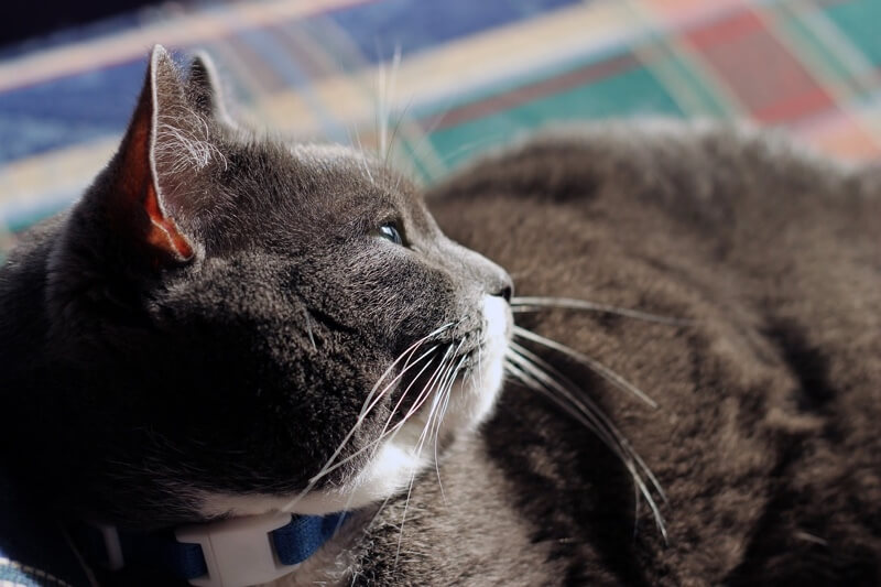 cat arthritis symptoms _ grey and white care with blue collar