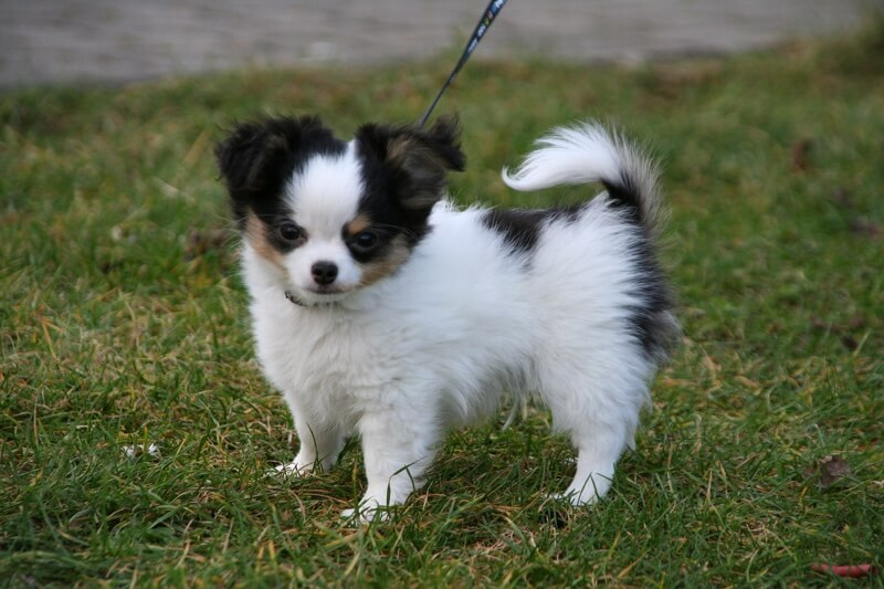 fluffy Chihuahua on a leash in the grass