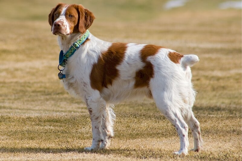 symptoms of bone cancer in dogs | Brittany Spaniel with blue collar outside