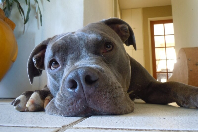 signs of bloat in dogs _ grey Pit Bull laying on tile floor
