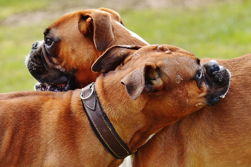 Two Boxer dogs playing outside _ 5 tips to prevent bloat