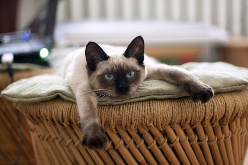 Siamese Cat Facts _ Siamese cat lying on an ottoman .jpg
