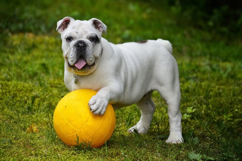 Wrinkly Dog Care Tips