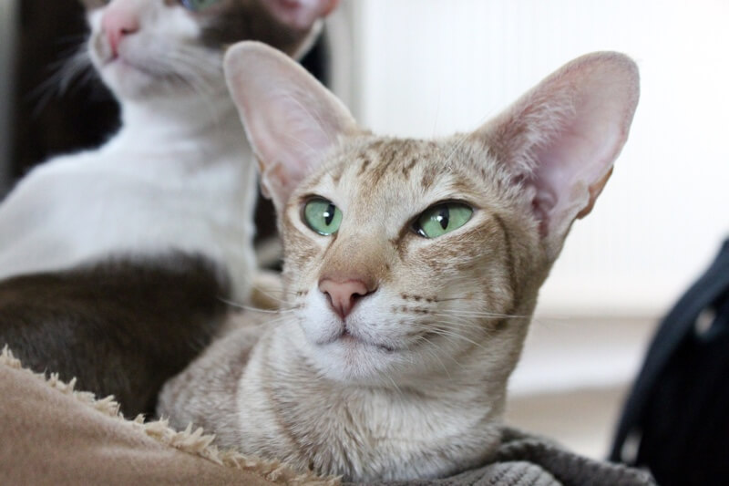 Ear Infections in Cats Symptoms and Treatment