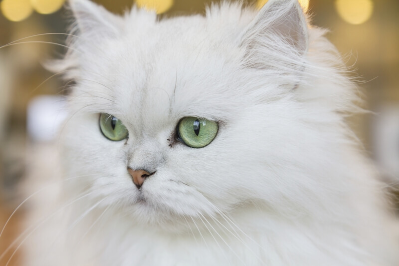 Persian Cat Facts.jpg