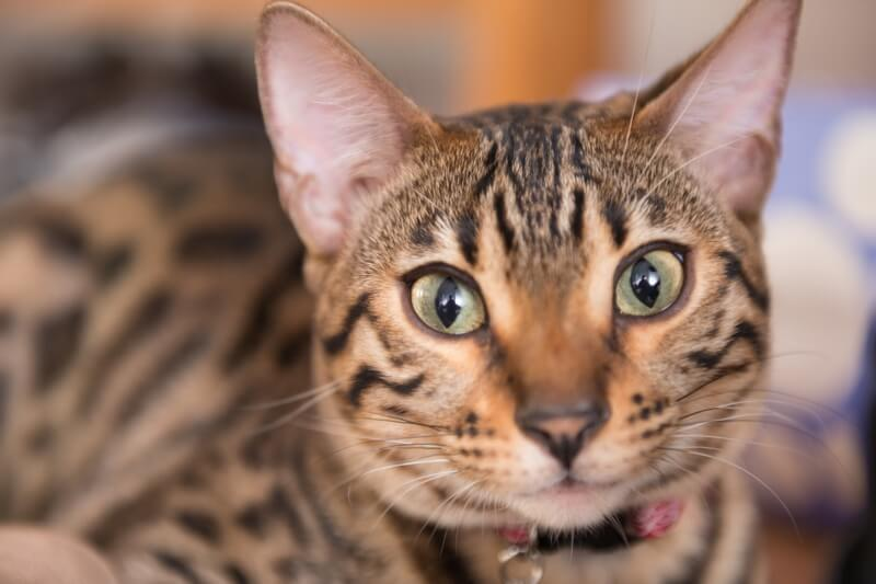 Bengal Cat Facts.jpg