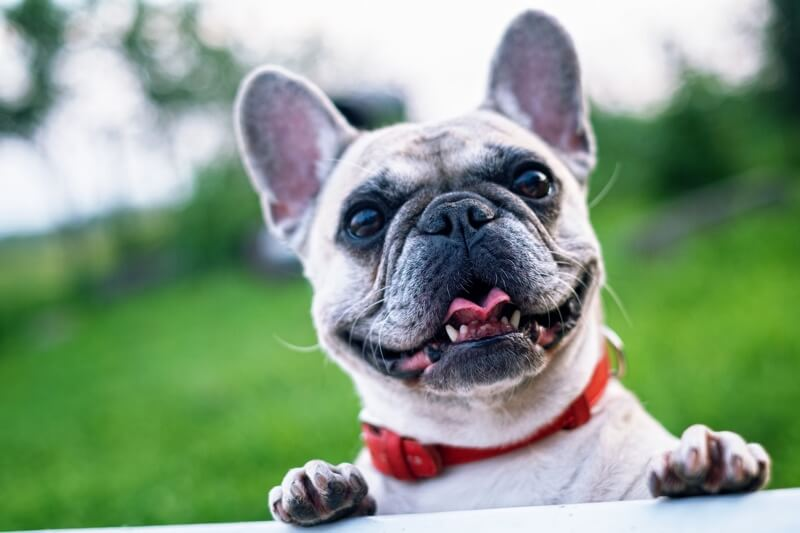 Fun Facts About French Bulldogs.jpg