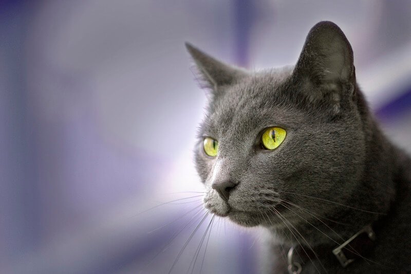 Fun Facts About Russian Blue Cats