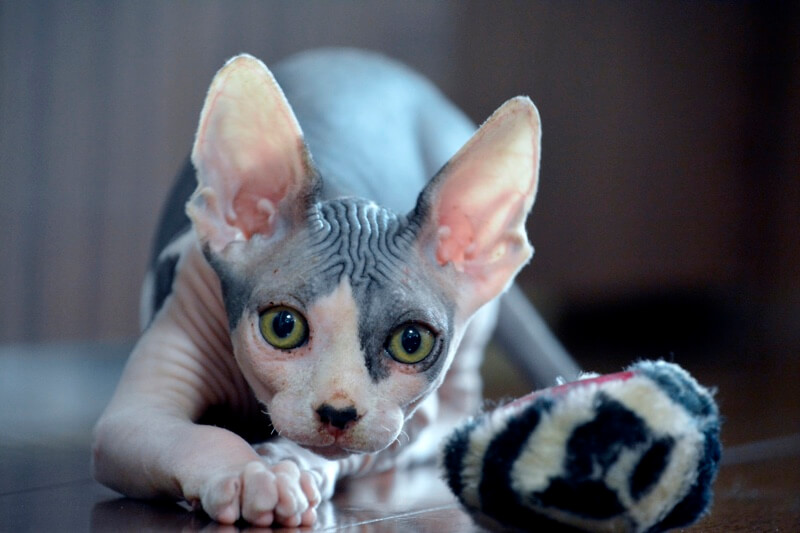 All About Sphynx Cats.jpg