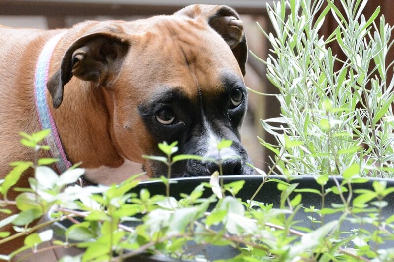 15 Plants Toxic to Dogs [With Photos].jpg